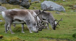 Reindeer pic by Martha de Jong-Lantink on Flickr